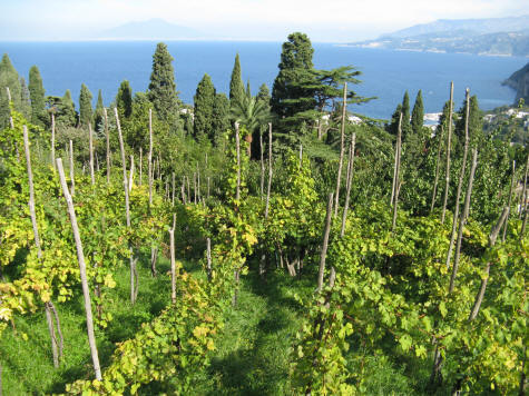 Vineyards of Capri